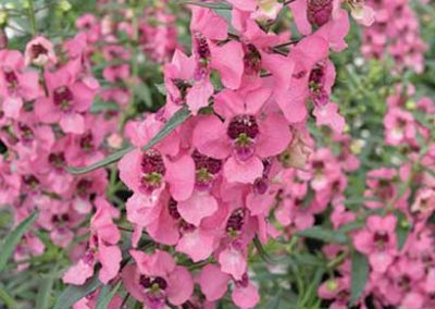Angelonia- Pink