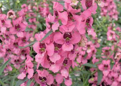 Angelonia- Pink