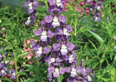 Angelonia - Purple