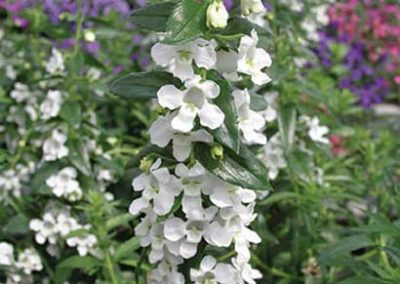 Angelonia - White