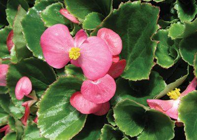 Begonias Greenleaf - Pink