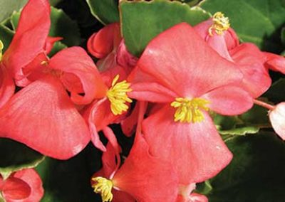 Begonias Greenleaf - Red