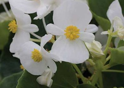 Begonias Greenleaf - White