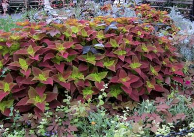 Coleus - Alabama