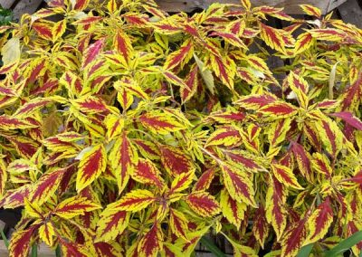 Coleus - Pineapple