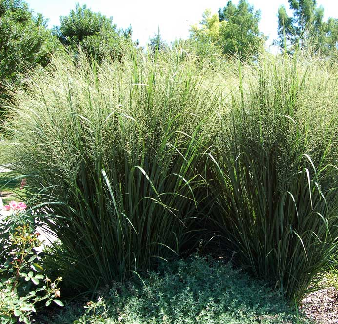 Commercial landscaping seasonal color selections for dfw for Blue fountain grass