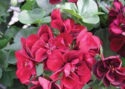 Geranium - Red