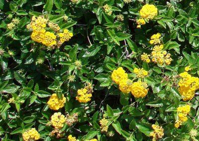 Lantana - Yellow