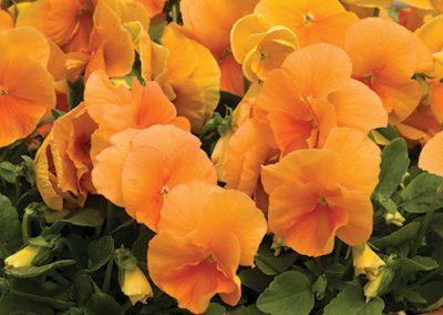 Pansy - Orange