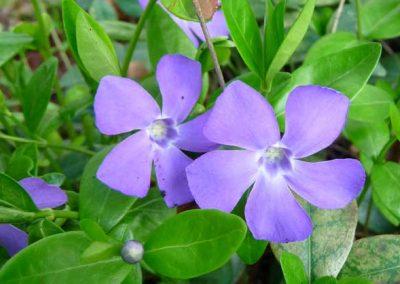 Vinca (Periwinkle) - Violet