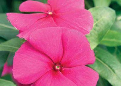Vinca (Periwinkle) Pink