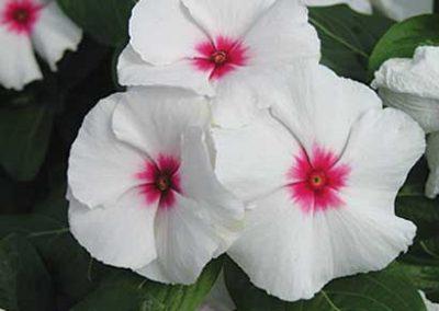 Vinca (Periwinkle) - White