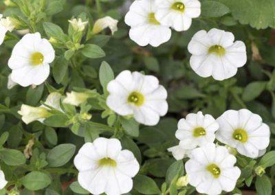 Petunia - White