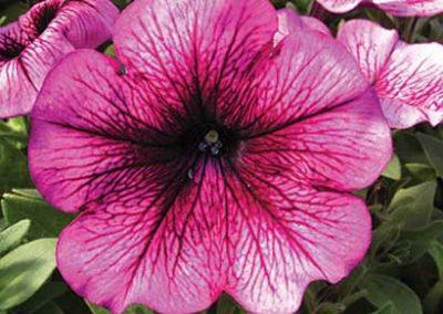 Petunia - Lavender