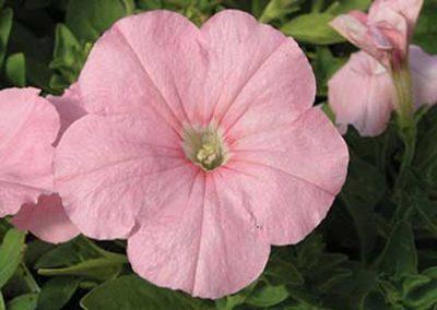 Petunia - Pink