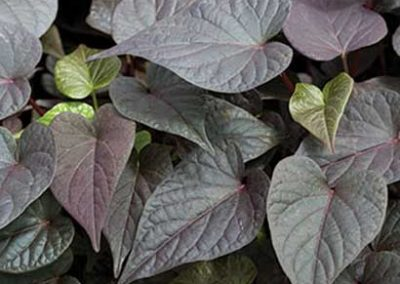 Potato Vine - Purple