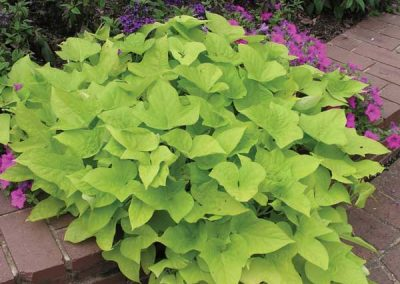 Potato Vine - Yellow