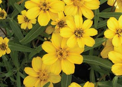 Star Zinnias - Yellow