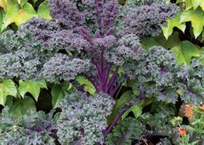 Kale - Redbor Winterbor