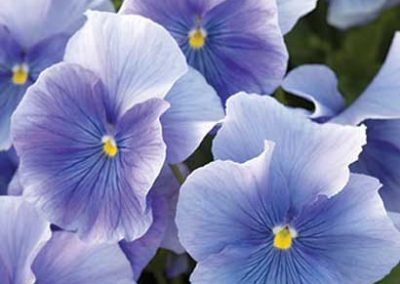 Pansy - Blue