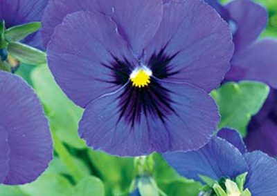Pansy - Purple