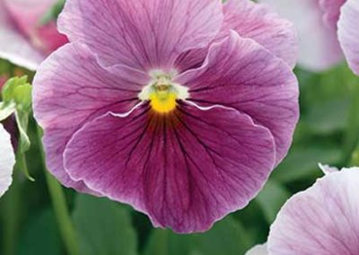 Pansy - Rose