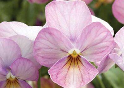 Viola - Rose