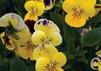 Viola - Yellow