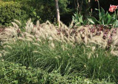 Dwarf Hamlin Grass