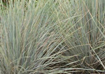 Gulf Coast Muhly Grass
