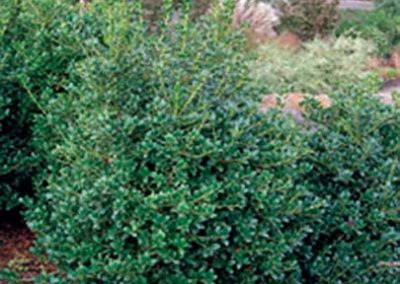 Holly - Dwarf Burford