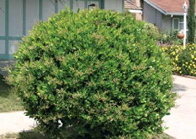 Ligustrum Wax Leaf
