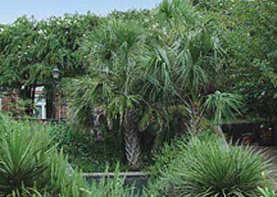 Sabal Palm
