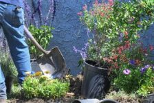 Man in jeans digging a hole with a shovel for a pink flowering bush in a pot, garden care in houston tx, commercial lawn care in houston tx